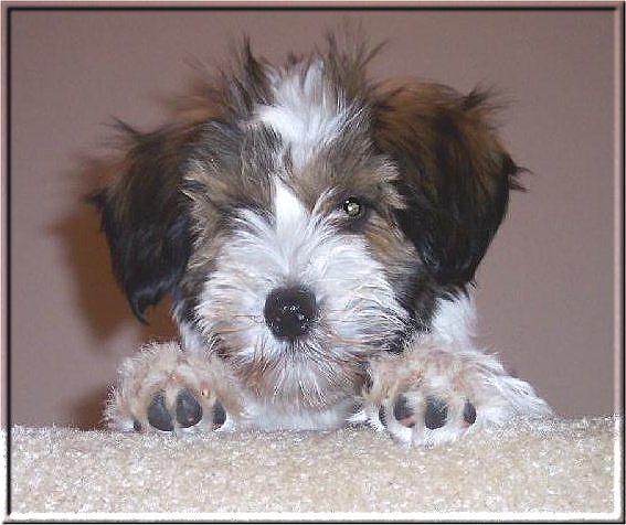 Pics Photos - Tibetan Terrier Breeders Page 5